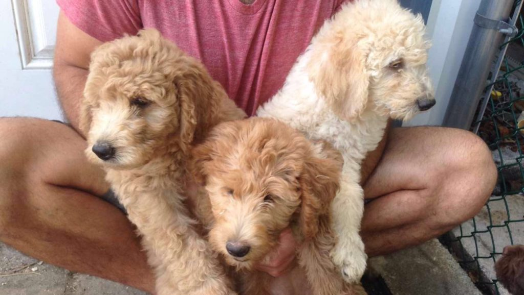 Lab and Labradoodle dogs from our Labradoodle breeders in Florida